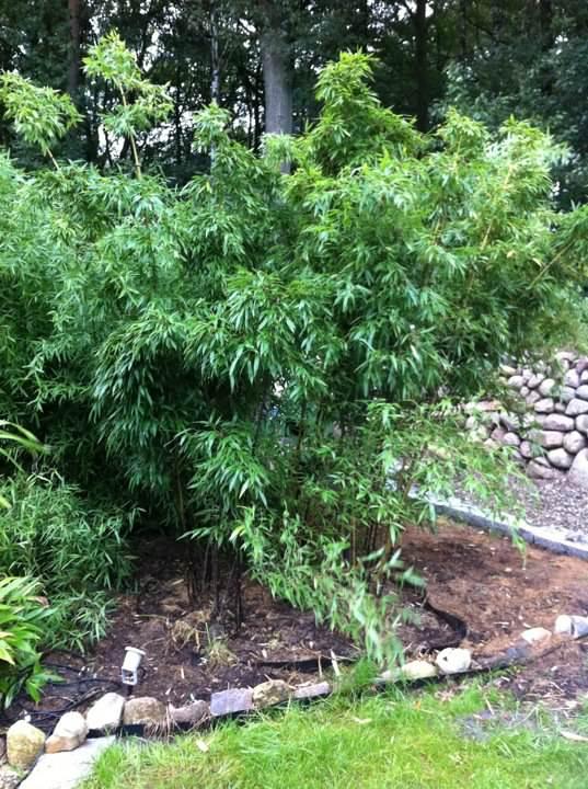 phyllostachys nigra 39 punctata 39 bambusmann der mit bambus kann. Black Bedroom Furniture Sets. Home Design Ideas