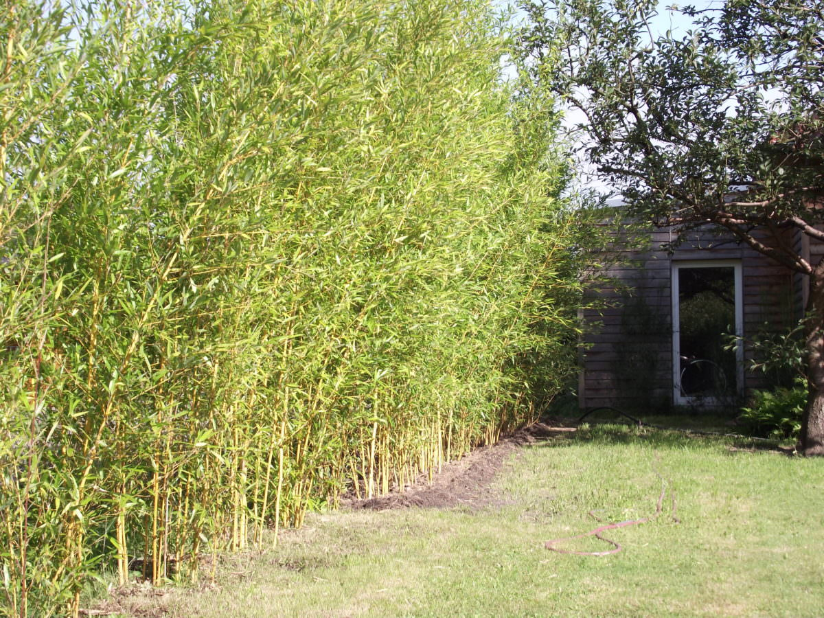 phyllostachys aureosulcata aureocaulis goldener peking bambus bambus kaufen. Black Bedroom Furniture Sets. Home Design Ideas