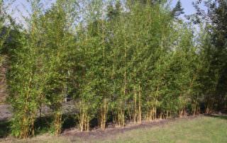 Phyllostachys Aureosulcata Aureocaulis Archive Bambus Kaufen