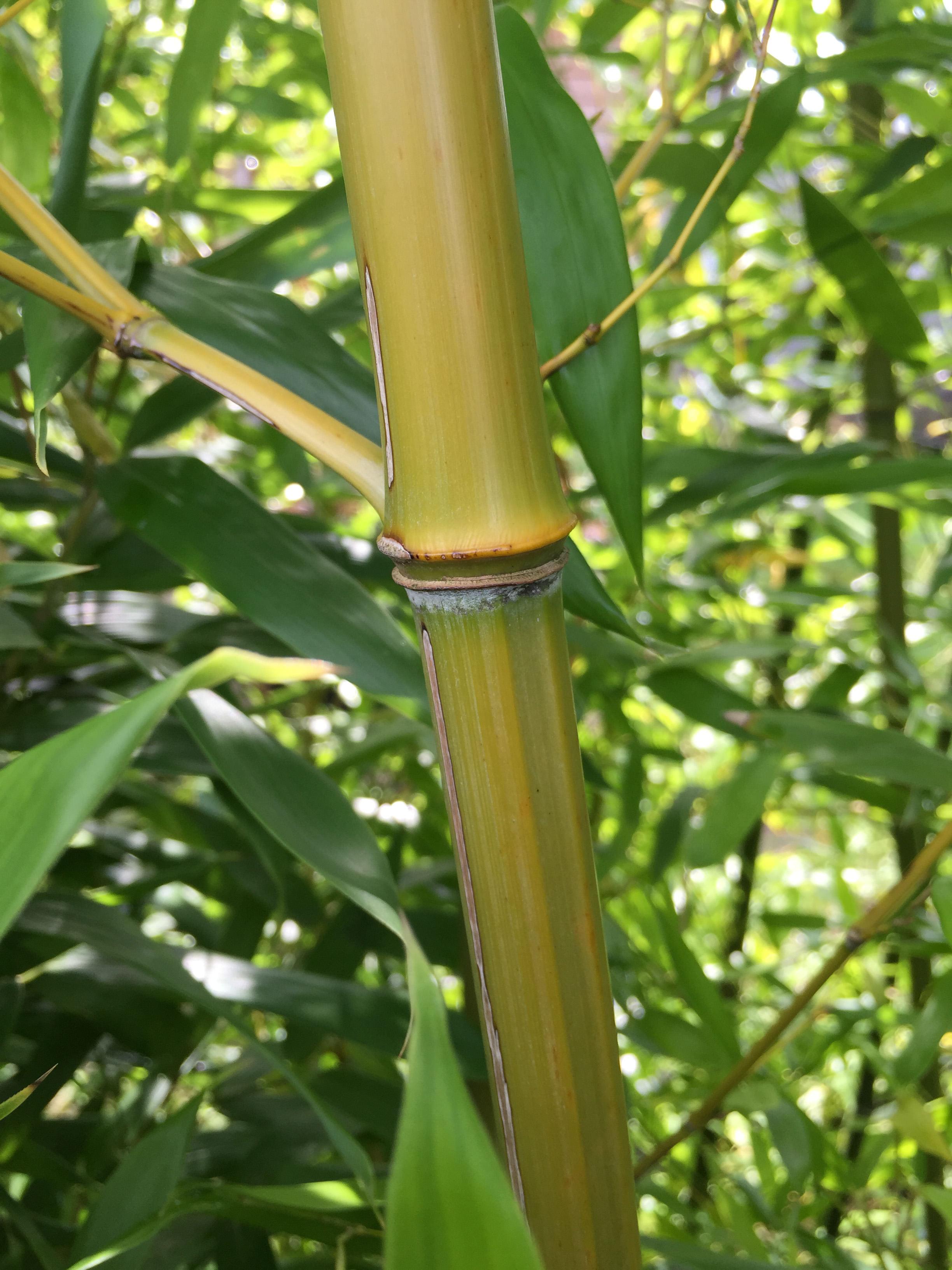 bambus als sichtschutz bambus kaufen. Black Bedroom Furniture Sets. Home Design Ideas