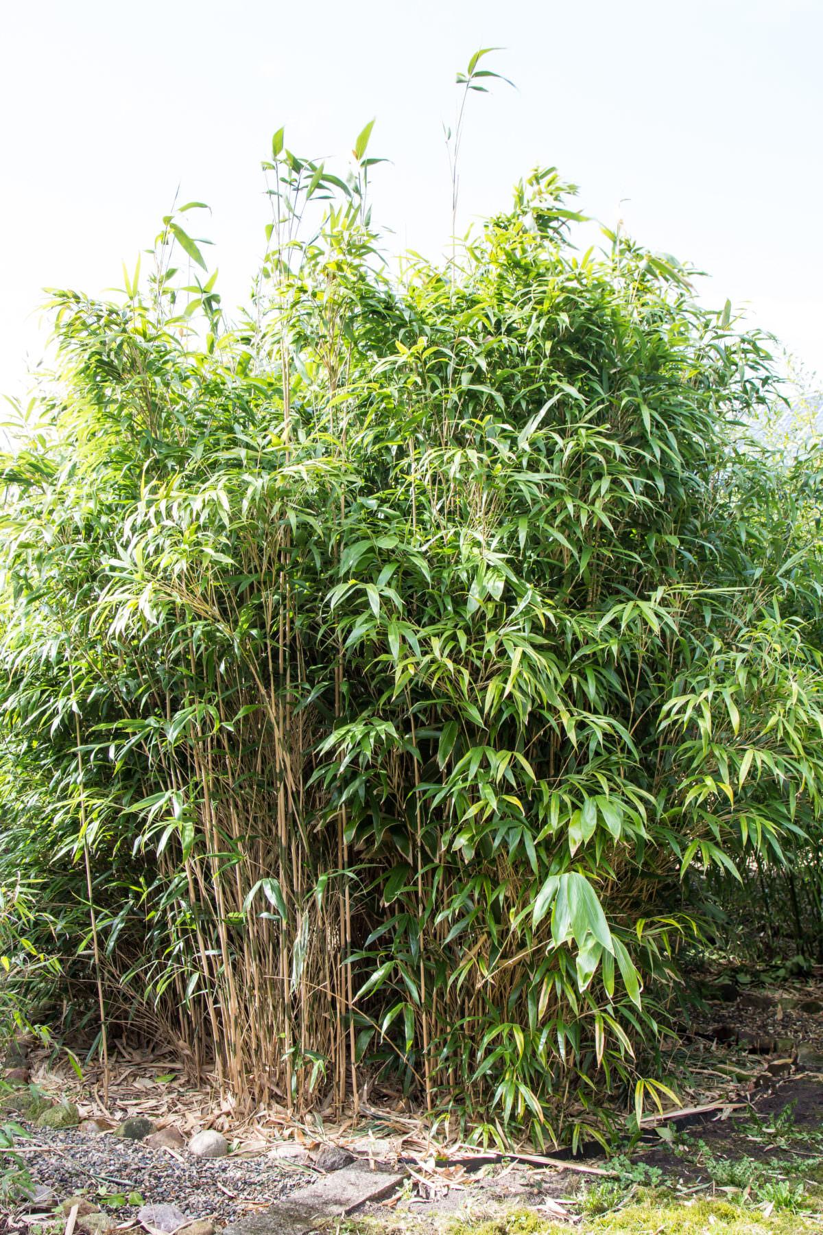 pseudosasa japonica pfeilbambus bambus kaufen. Black Bedroom Furniture Sets. Home Design Ideas