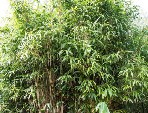 Pseudosasa japonica, Pfeilbambus