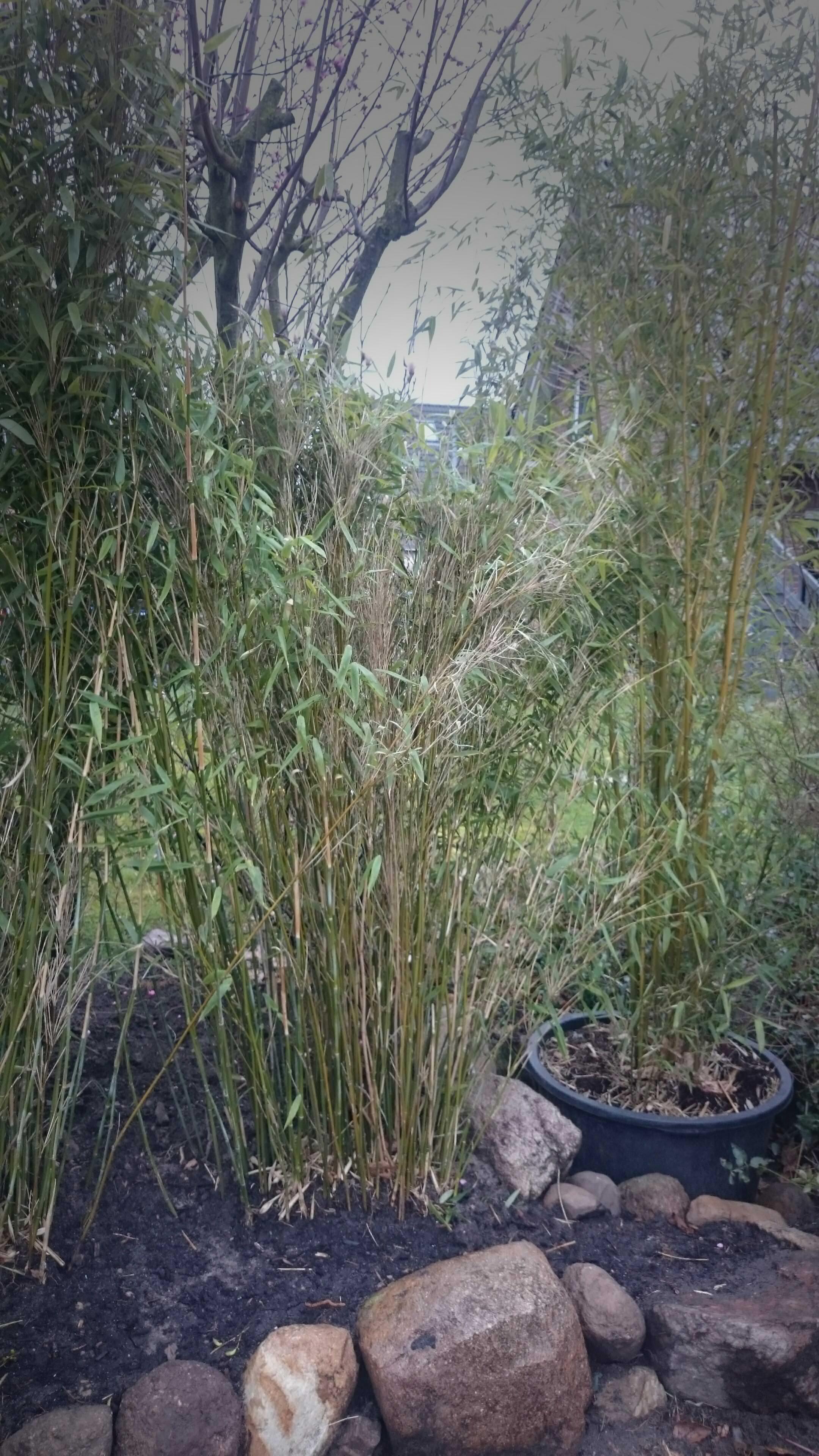 Bambus Fargesia mureliae2