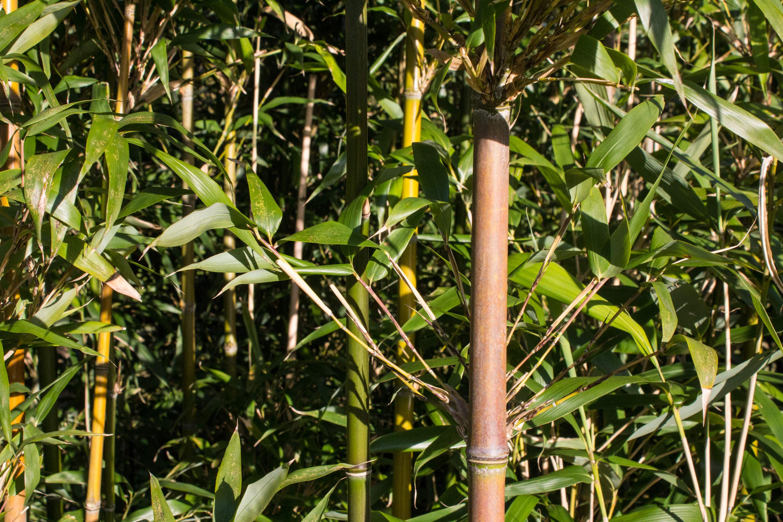 Bambus als Hecke Archive Bambusmann Shop