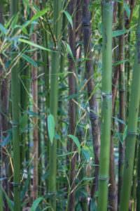 Phyllostachys nigra 'Boryana' 1