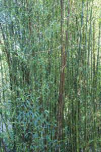 Phyllostachys nigra 'Boryana' 2