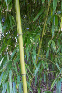 Phyllostachys viridiglaucescens Halm