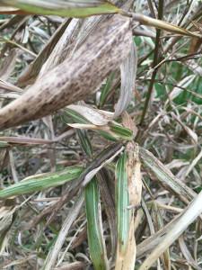 bambus-vertrocknet