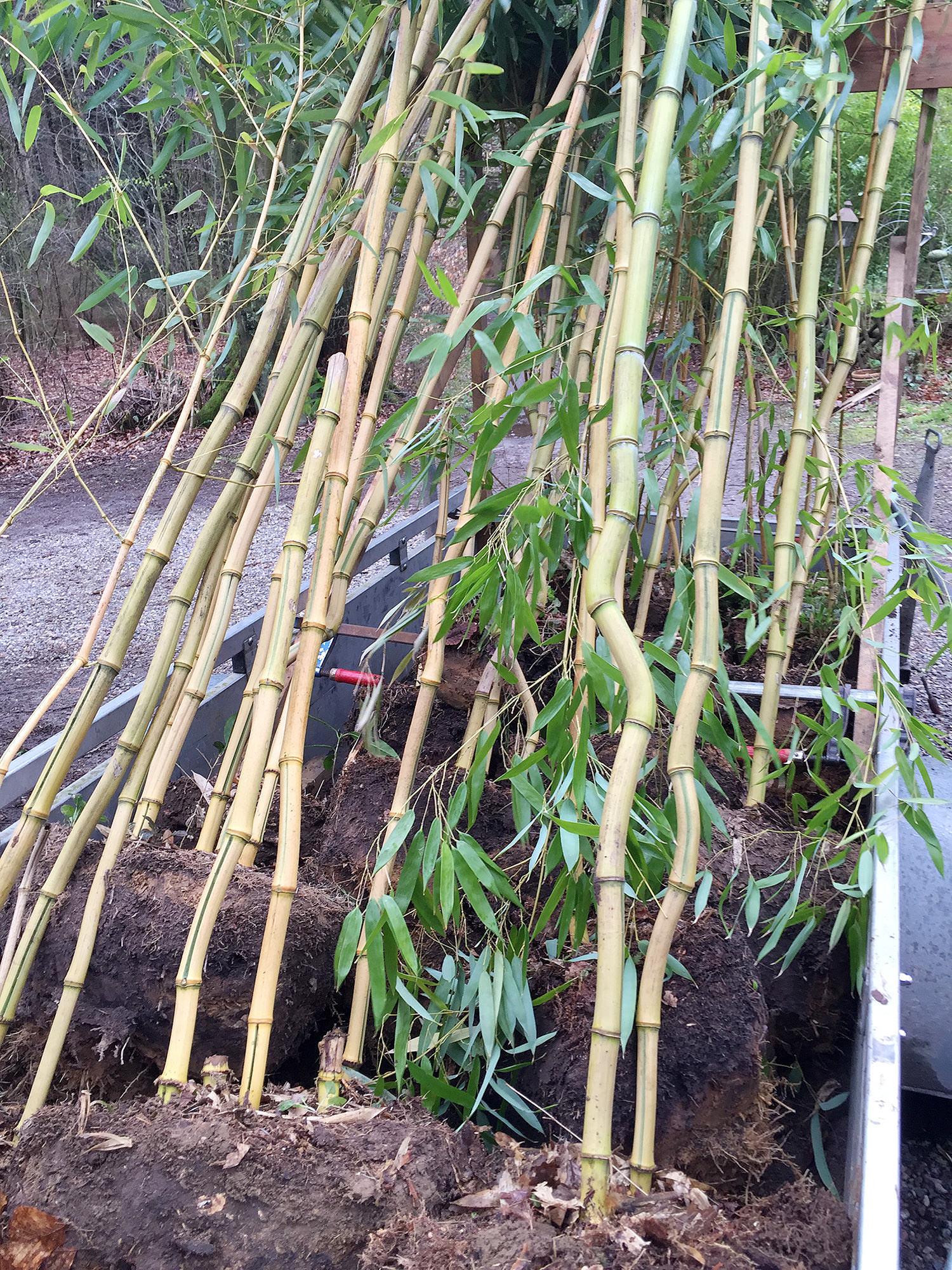 der spectabilis zieht um bambus kaufen. Black Bedroom Furniture Sets. Home Design Ideas