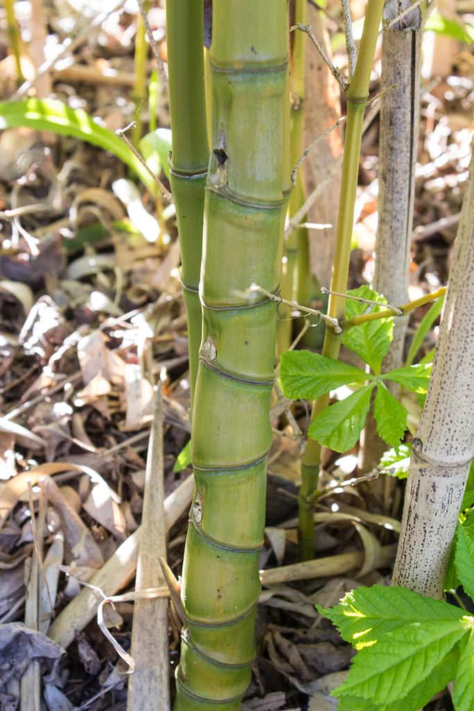 phyllostachys aurea bambus kaufen. Black Bedroom Furniture Sets. Home Design Ideas