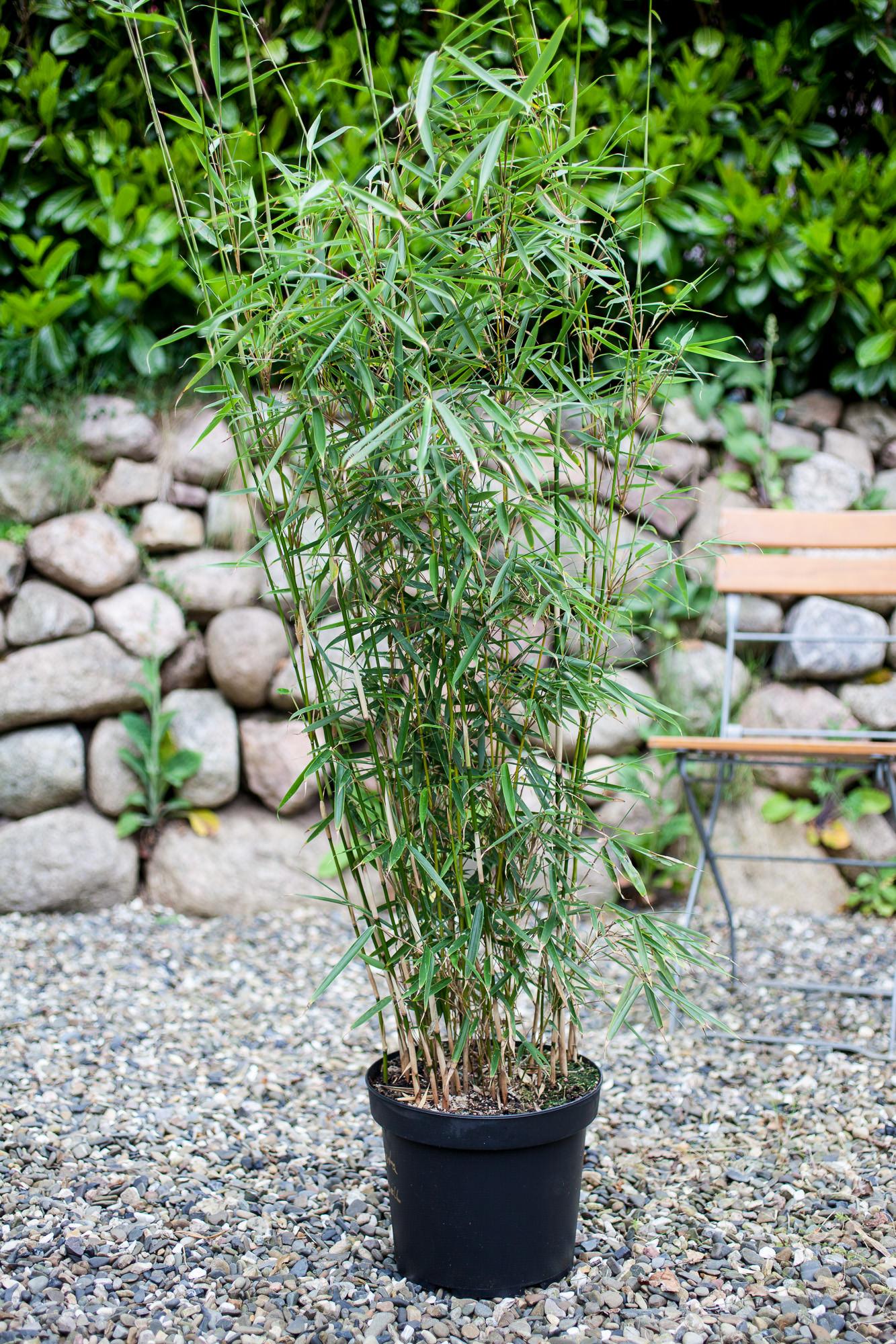 fargesia robusta 39 campbell 39 001 bambus kaufen. Black Bedroom Furniture Sets. Home Design Ideas