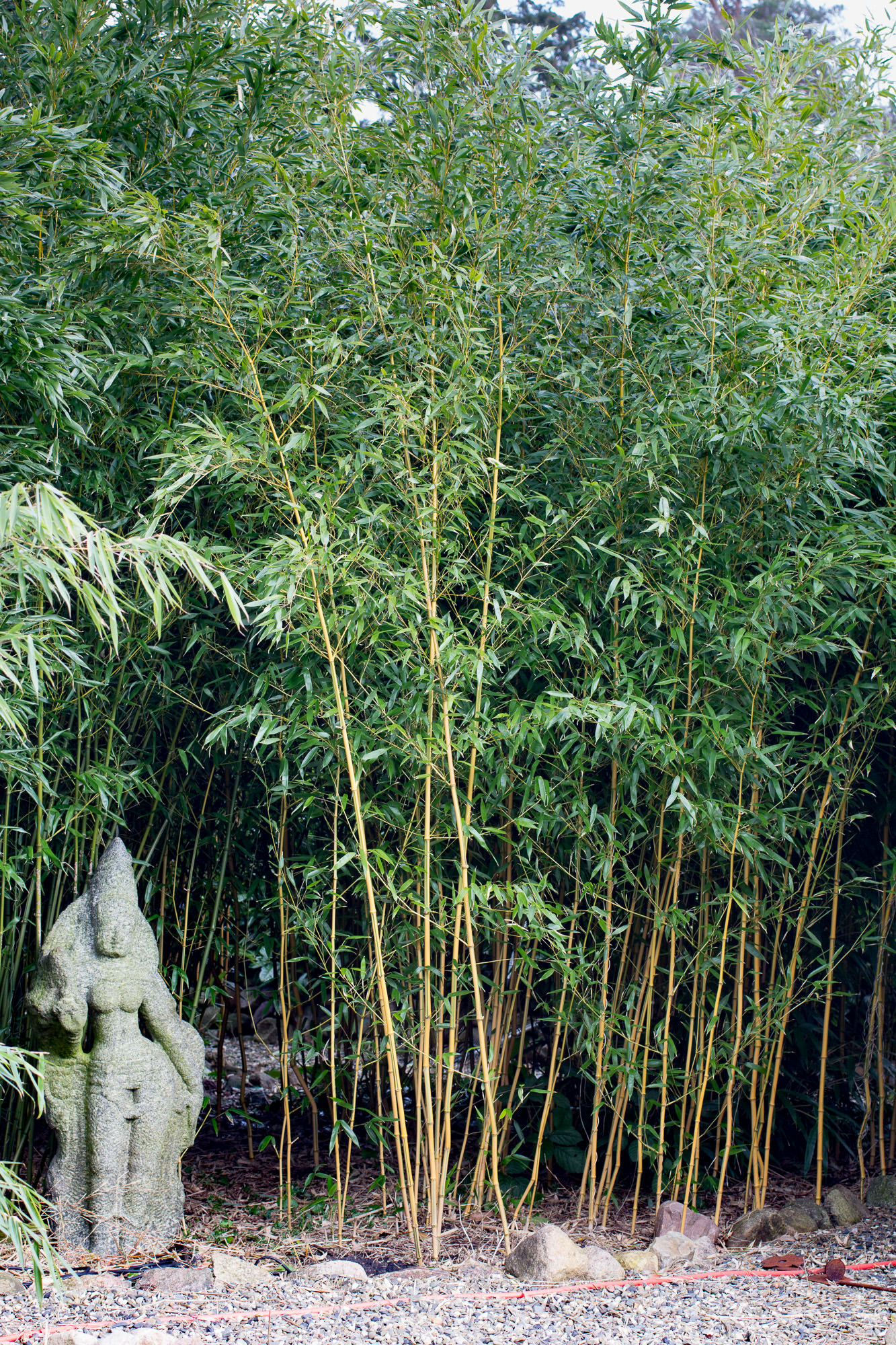 phyllostachys aureosulcata spectabilis spectabilis. Black Bedroom Furniture Sets. Home Design Ideas
