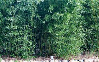 Bambus Fur Terrasse Balkon Archive Bambus Kaufen