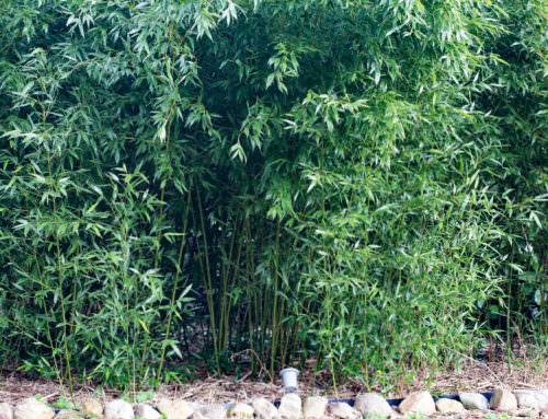 Phyllostachys bissetii – Grüner Bambus
