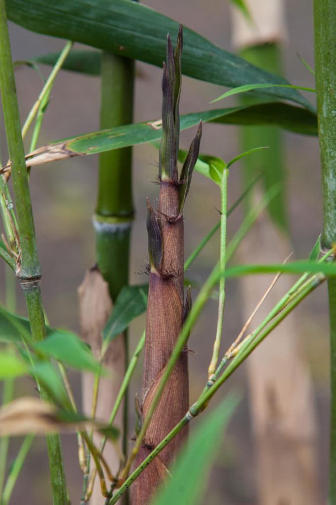 Phyllostachys nigra Henonis