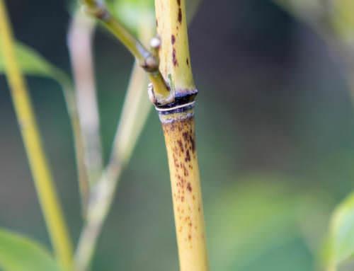 Phyllostachys nigra Mejiro – Schwarzer Gelbrinnen Bambus