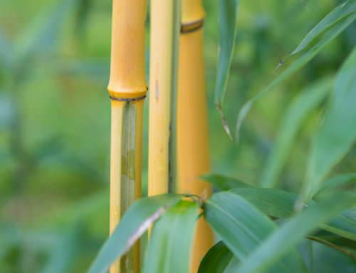 Phyllostachys vivax 'Huangwenzhu-inversa'