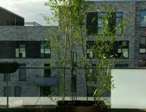Bambus auf der Dachterrasse0 (0)