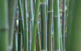 Phyllostachys parvifolia