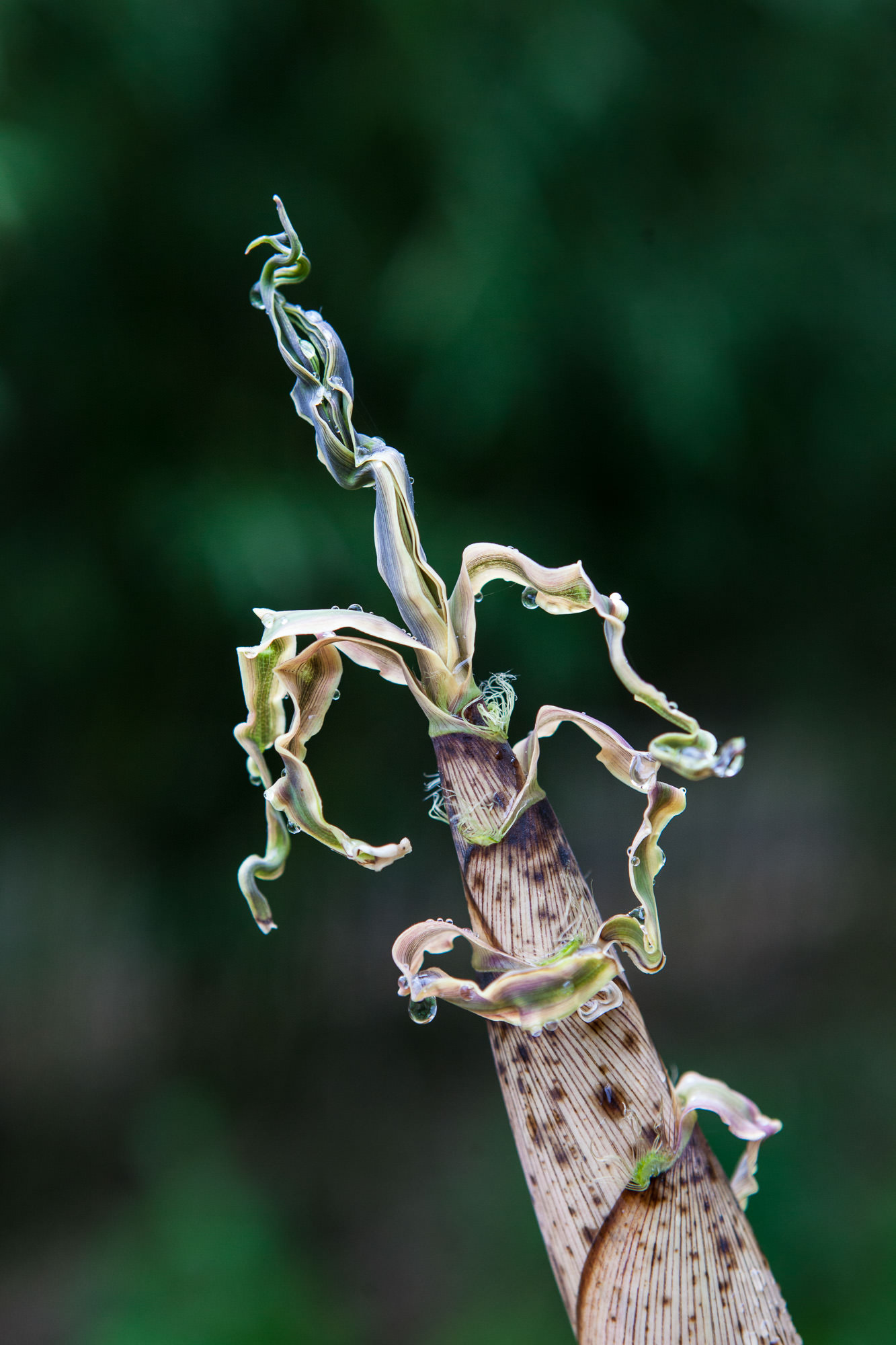 Phyllostachys praecox