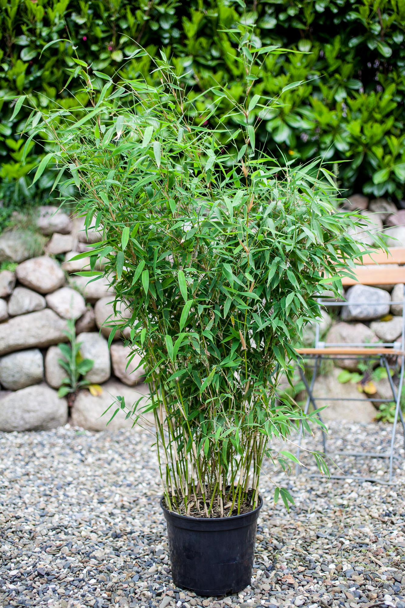 fargesia spez evergreen bambus alle bambus 0 bis 3 m bambus als hecke bambus f r. Black Bedroom Furniture Sets. Home Design Ideas