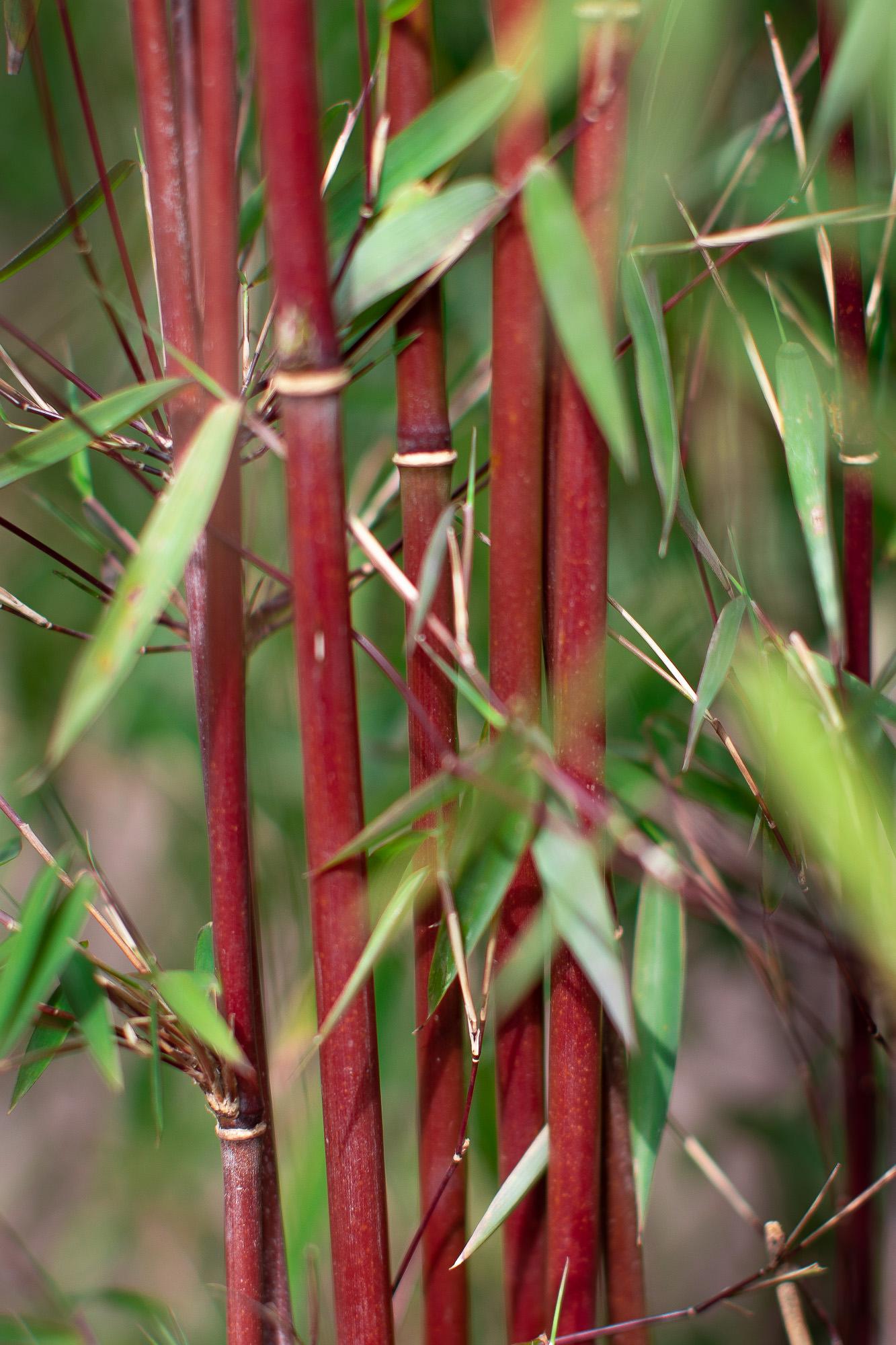 Roter Bambus