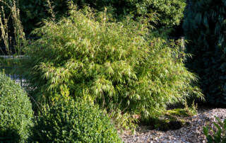 Fargesia rufa im Garten als Sichtschutz