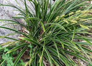 Seggen – Carex