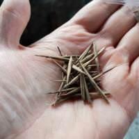 Bambus aus Samen