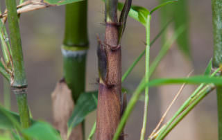 "Bambus Rarität Phyllostachys Preacox /""Violascens/"" Sichtschutz Hecke,frosthart,"