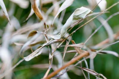Blätter vom Bambus sind vertrocknet