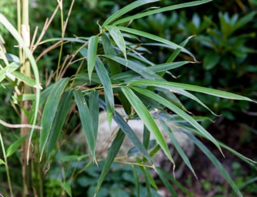 Pseudosasa japonica 'Tsutsumiana'