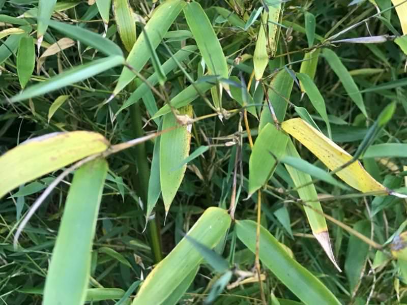 Hilfe Mein Bambus Bekommt Braune Blätter Bambusmann Bambus