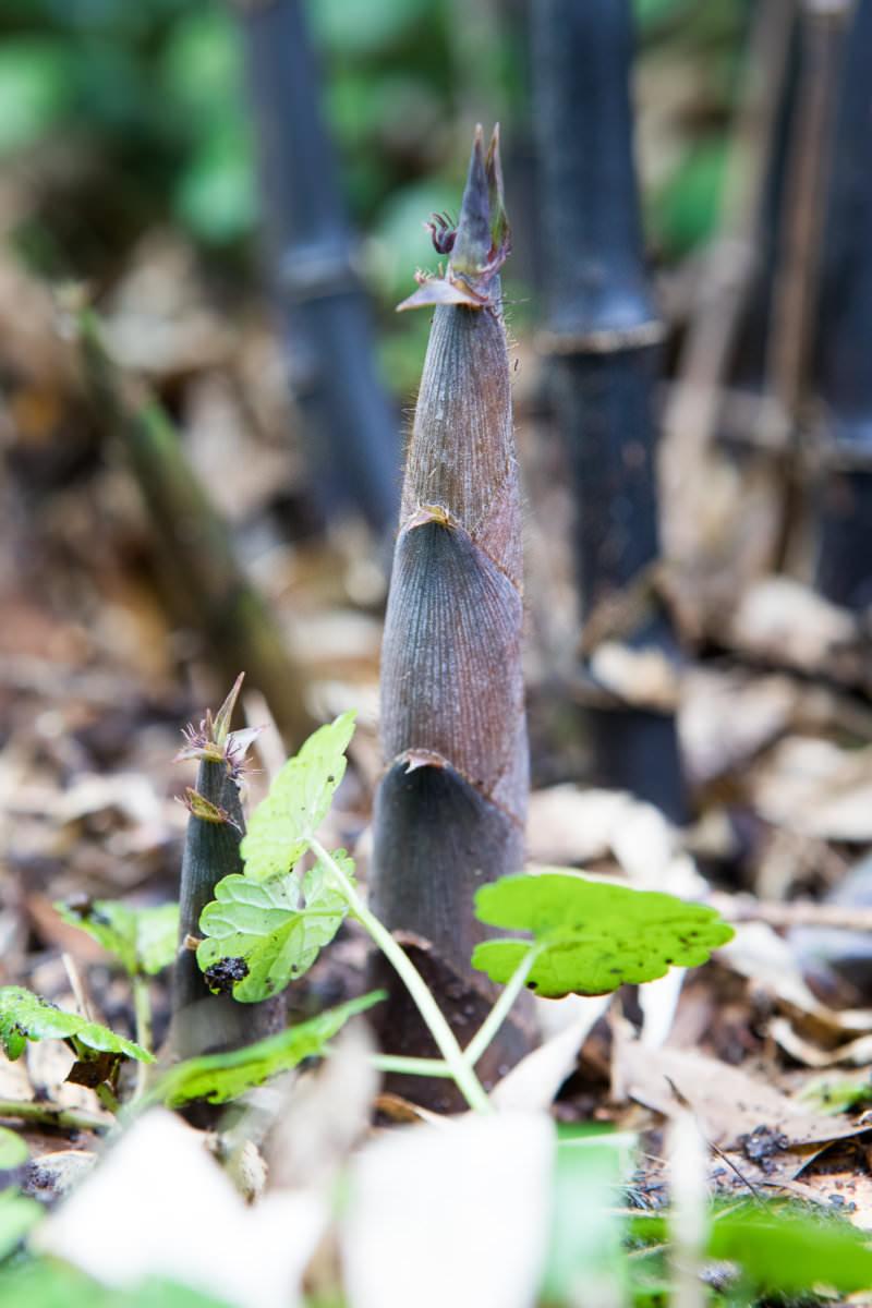 Phyllostachys nigra 'Punctata'