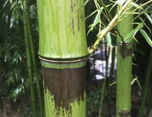 Bambus mit Trockenschäden0 (0)