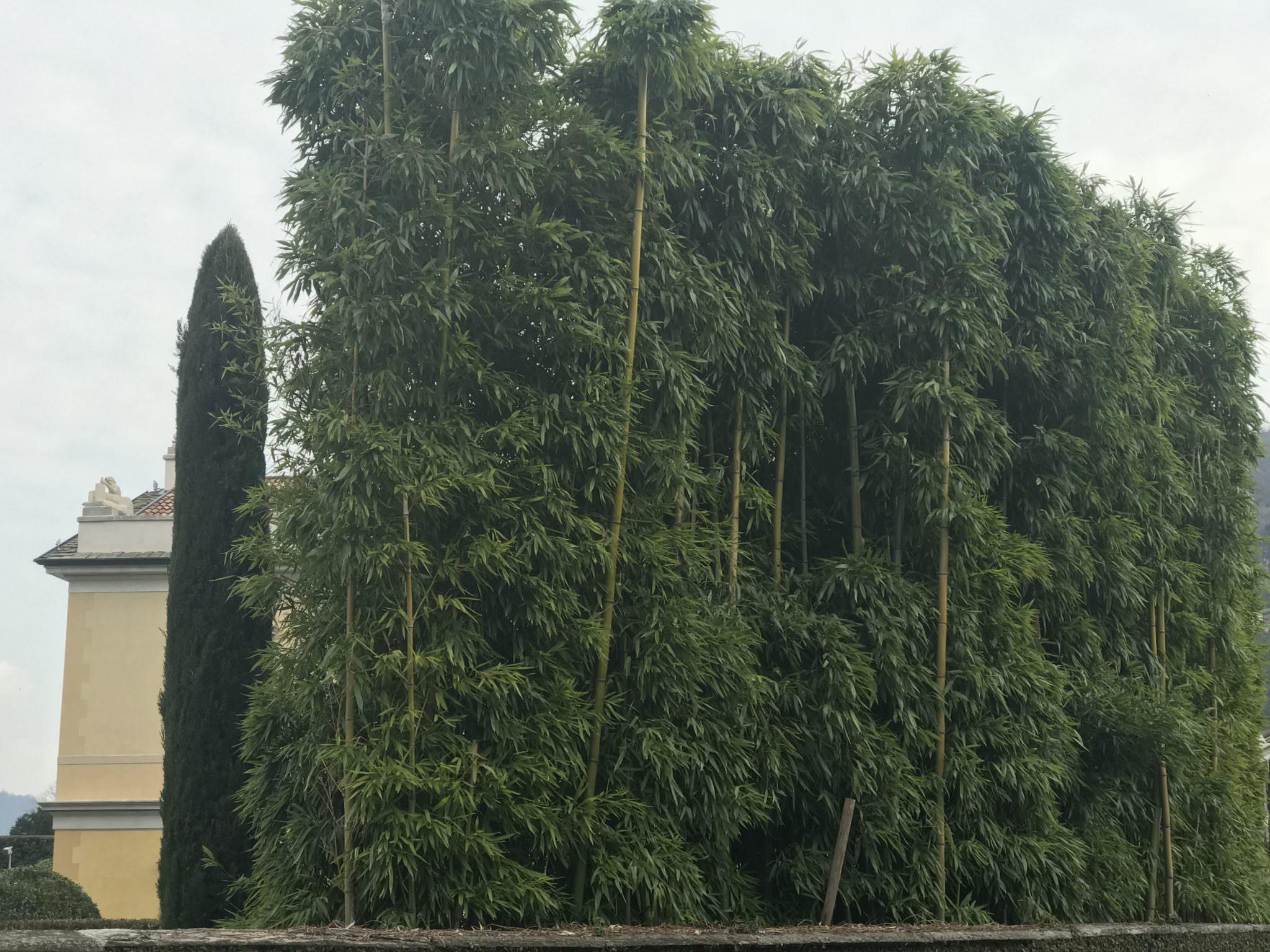 Bambus Als Hecke Am Comer See Bambusmann Bambus
