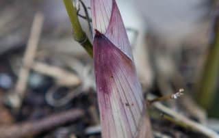 Phyllostachys aureosulcata