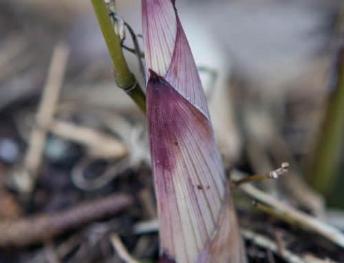 Welcher Bambus ist das? Bambus identifizieren