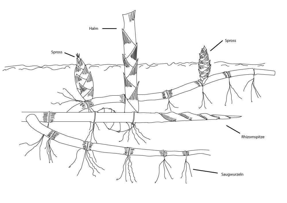 Bambus Ausläufer leptomorph Zeichnung
