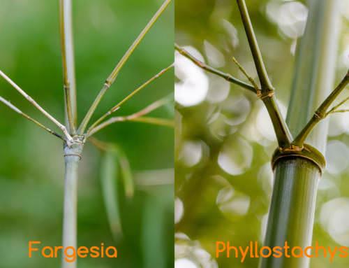 Woran erkenne ich, ob der Bambus Ausläufer bildet oder nicht?
