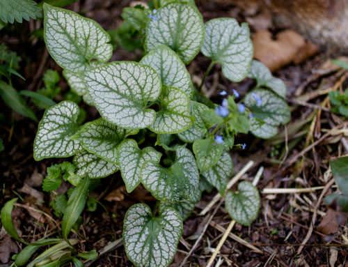 Brunnera macrophylla, Jack Frost, Kaukasus Vergissmeinnicht'