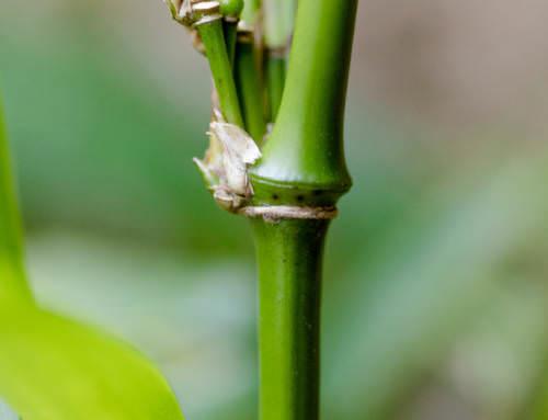 Qiongzhuea tumidinoda cv. Addington – Spazierstockbambus