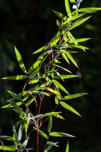 Fargesia Green Dragon