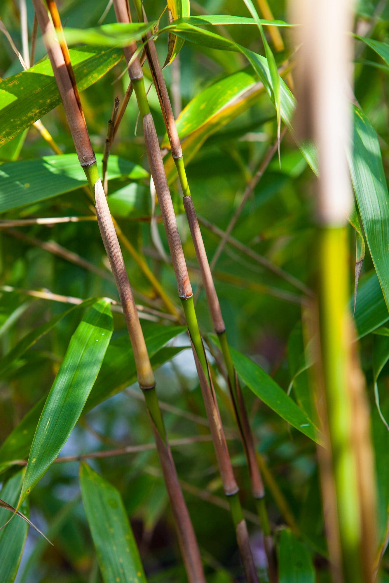 Fargesia robusta 'Red Sheat'