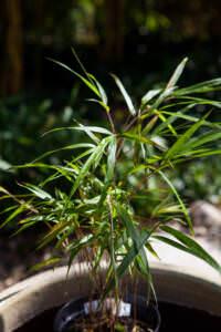 Yushania angustifolia